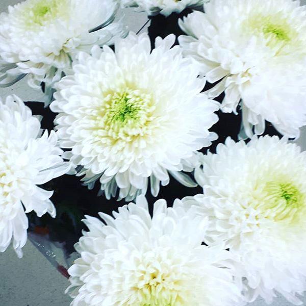 Хризантема магнум