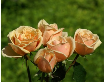Что означают разные цвета роз